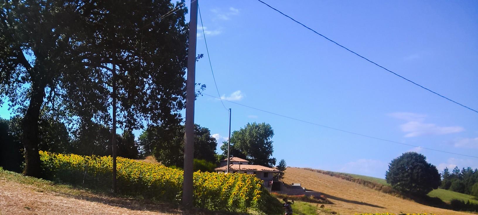 Girasoli_Castel_Giorgio